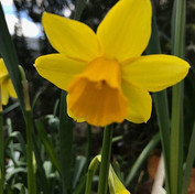 8 Daffodil - Dorothy Whiterod.jpg