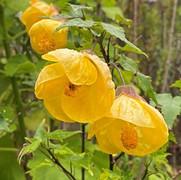36 Yellow Abutilon - Elizabeth Dobson.jp