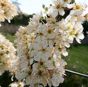 16 Satsuma plum blossom - Gary Fletcher.