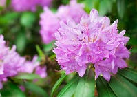 rhododendrons_edited.jpg