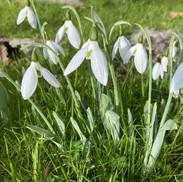 6 Galanthus. (Snowdrop) - Elizabeth Dobs