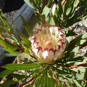 20 Protea Limelight -Lyn Austin.JPG