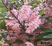 Elaeocarpus%20reticulatus%20(Blueberry%2