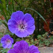 31 Geranium (Rozanne)