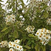 30 Montanoa Tree Daisy- anon.jpg