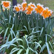 28 Split-corona Daffodil - Elizabeth Dob