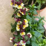 19 Nemesia-Raspberry and Custard - Jill