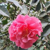 2 Camellia Reticulata 'Applause' -David