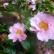 23 Camellia - Lyn Austin.JPG