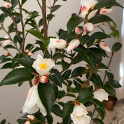 18 Magnolia - Jill Cleverland Bowden.jpg
