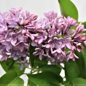 14 Lilac - Sara Weston.jpg