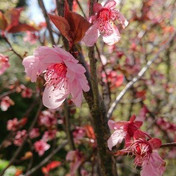 13 Prunus blossom - Maggie Fletcher.JPG