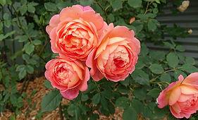 Renmark roses 2020 (2).jpg