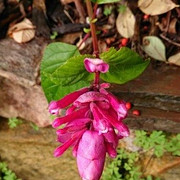 13 Salvia Involucrata Bethellii - Maggie