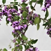 32 Native Mint Bush - Elva.jpg