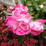 29 Rose (bush)