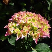 12 Hydrangea