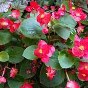 24 Begonia - Maggie Fletcher.jpg