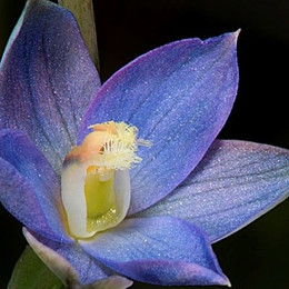 Naked Sun Orchid