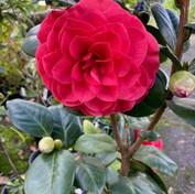 12 Japonica Camellia - 'Nuccio Bella Ros