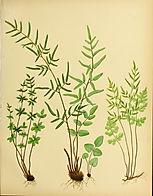 Fern Society SA- old ferns.jpg