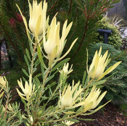 11 Leucadendron Yellow Devil - Robin Aus