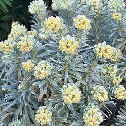 29 Euphorbia Silver Swan.jpg