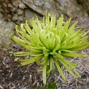 14 Chrysanthemum  Anastasia - Lyn Austin