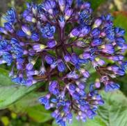 17 Dichroa febrifuga -Evergreen Hydrange