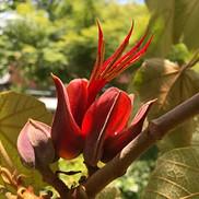 18 Chiranthodendron (Monkey Hand Tree)-