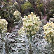 8 Euphorbia Characias Silver Swan - Lyn