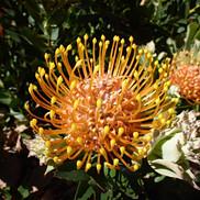 8 Leucospermum Patersonii