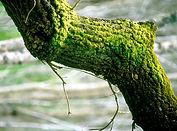 CSIRO_ScienceImage_4067_Moss_on_trunk_of