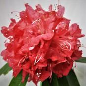 2 Rhododendron - Charles Sega.jpg