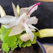 1 White Zygocactus- Jill Cleverdon Bowde