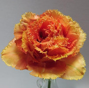22 Tulip - Sensational Touch - Lyn Austi
