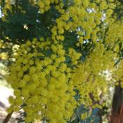 50 - July extra- Acacia baileyana.JPG