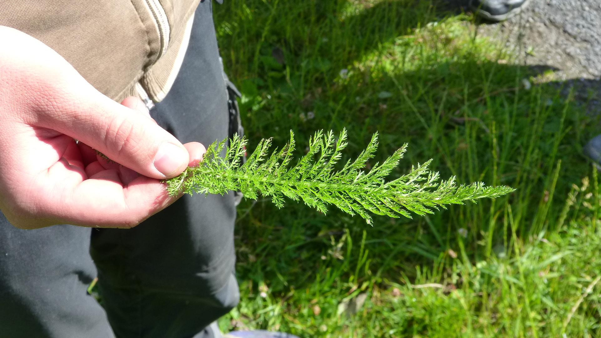 Schafgarbe (Achillea millefolium)