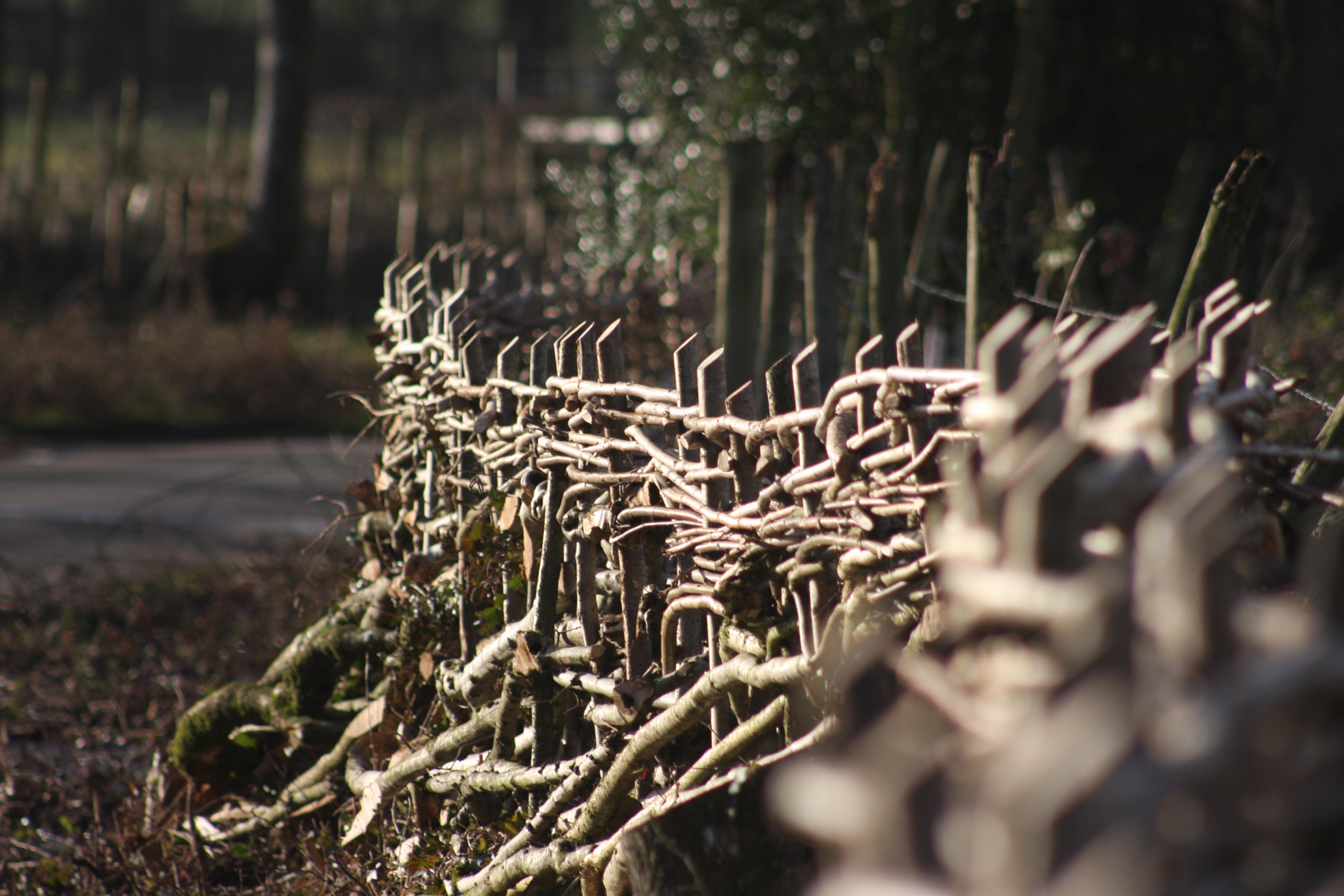 Laid hedge on SSSI site