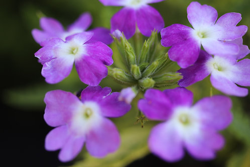 Balmy Bloom