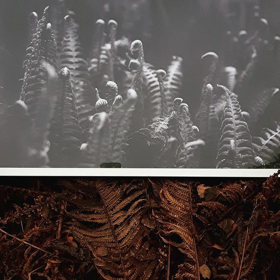 Ferns in black&white #1
