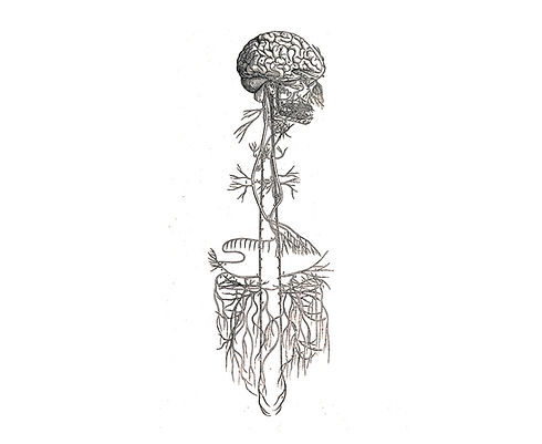 anatomy_vagus-nerve.jpg