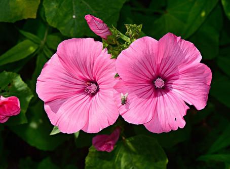 Gesundheitstipp #4: Hibiskus als Heilpflanze