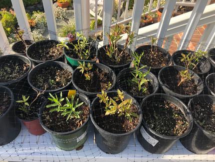 Growing native narrow-leaf milkweed (Asclepias fascicularis)