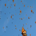 Join the Solana Beach Monarch Count--June 21-27
