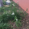 How is your pollinator garden growing?