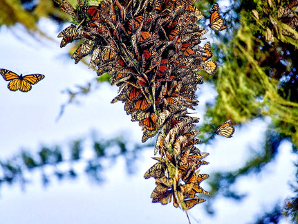Replay our May 20 meeting to learn more about Western monarchs and native milkweed