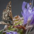 California Pollinators in Peril