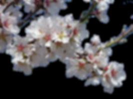 Organic Almond Blossom