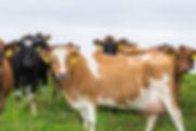 Pasture Raised Cow